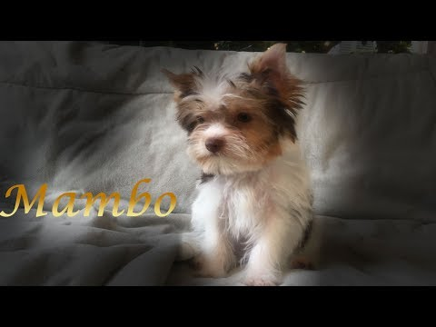 Yorkie Puppy - Mambo