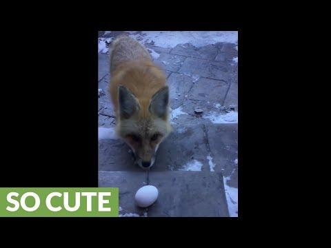 Man nearly hand-feeds wild fox in backyard