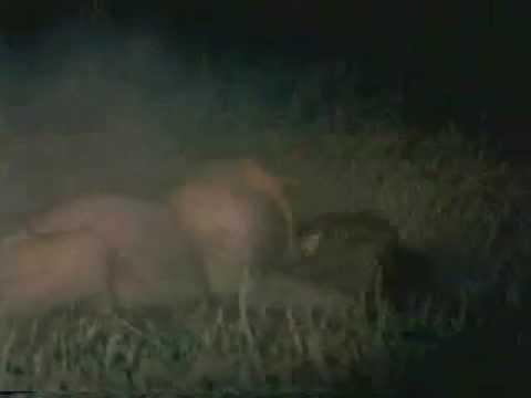 lions vs hyenas