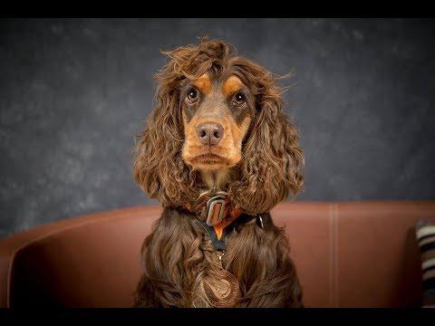 Mushy - Cocker Spaniel - 2 Weeks Residential Dog Training