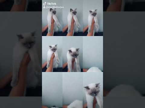 Tiktok ragdoll cat ♡ so funny! Crazy cats 😂 amazing app hihi