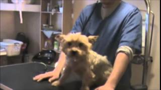 Yorkshire Terrier, Grooming An Aggressive Yorkie Yorkshire Terrier, Part 1, Chanel Bridget