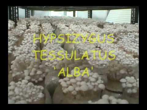 Automated Mushroom Cultivation