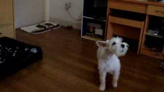 Phillip The Miniature Schnauzer: Singing Along With The Dandy Warhols