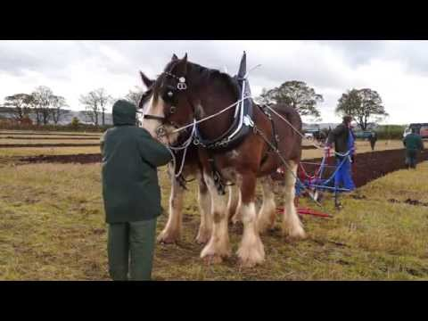 Clydesdale Horses Ploughing Plowing near Kinross Scotland.