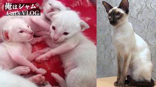Gatito siamés creciendo Lapso de tiempo  1 año en 8 minutos