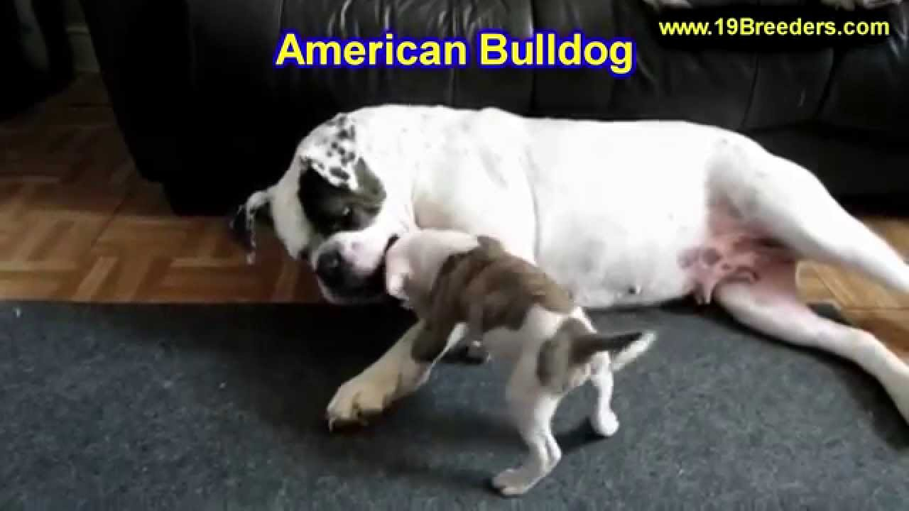 Blue pits for sale in kentucky - American Bulldog Puppies Dogs For Sale In Louisville Kentucky Ky 19breeders Bowling Green Youtube