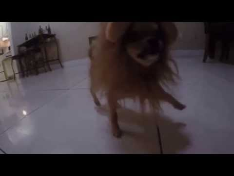 Chihuahua - The Lion King - Dog Costume