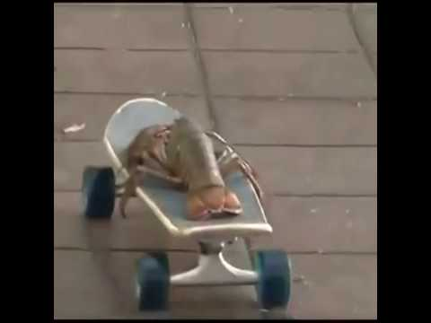 Skateboarding Lobster - The Final Countdown