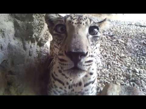 Arabian Leopard at Arabias Wildlife Centre Sharjah