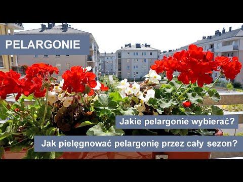 Pelargonie - Jak
