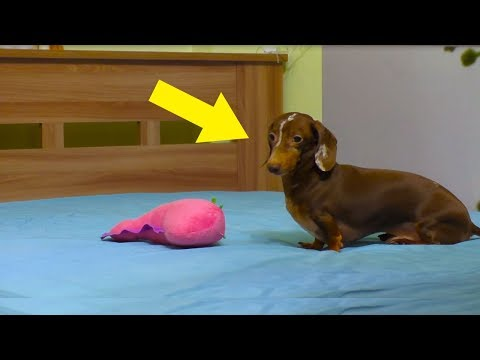 When This Tiny Dachshund Was Allowed Onto The Bed, A Camera Captured His Hysterical Reaction