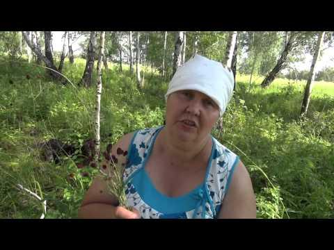 Купить Кровохлебки корневища и корни в Новосибирске