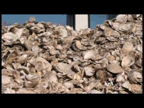 Recycled Toilets Restore Oyster Reefs
