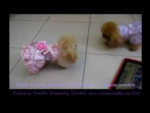 Cream Pocket Teacup Poodle Toy Poodle Teddy Bear