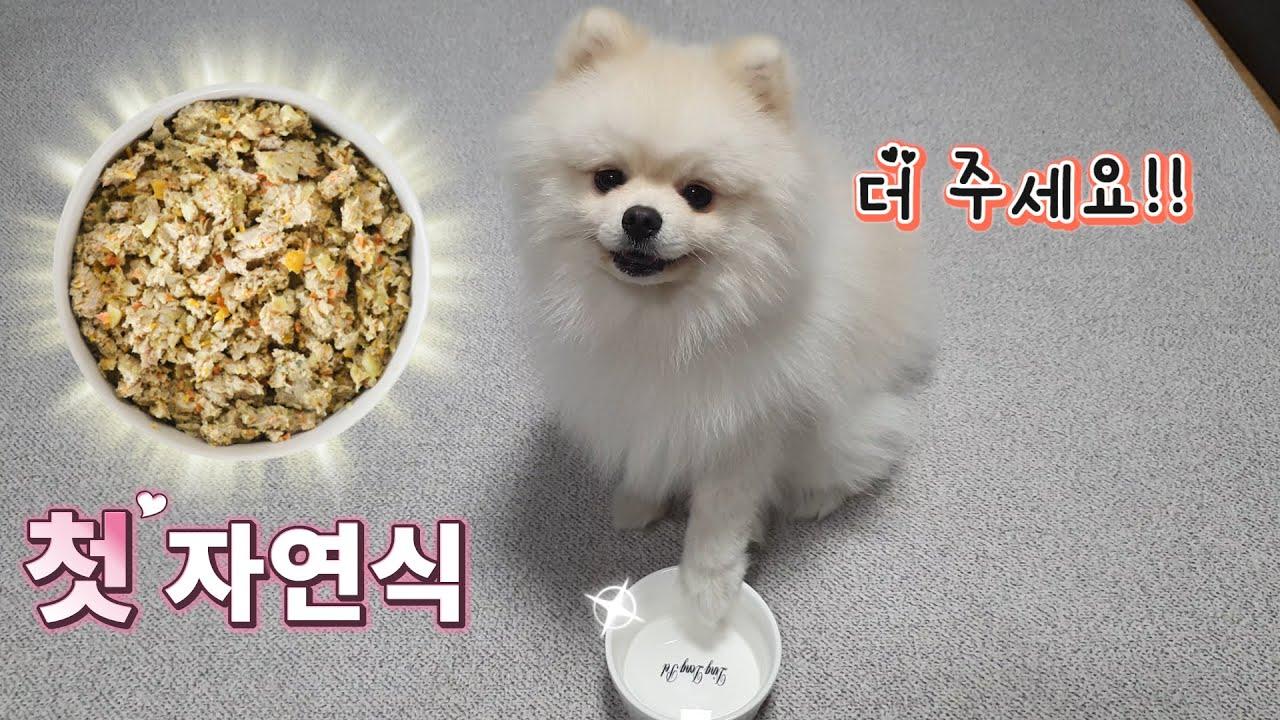 (특식) 생에 첫 자연식 먹고 난리난 강아지 ㅣ 포메라니안