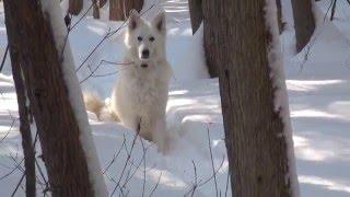 Радость рекордного снегопада. Белая Швейцарская Овчарка.