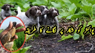 Pointer Dog Training   Pointer dog Hunting   pointer dog Training In Pakistan  