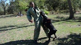Собака для защиты.  Прикладная защита. dog for protection