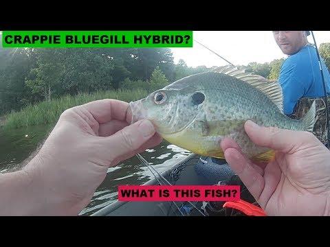 Jon Boat Fishing Shearon Harris Lake With Son - Bluegill Or Crappie?