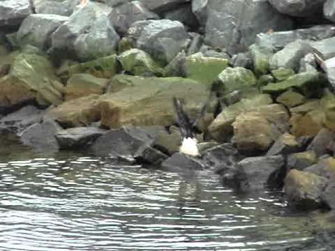 Bald eagle swimming, amazing. Dutch Harbor, AK