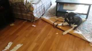 Warning: Siberian Husky Puppy Escaped From His Crate For The First Time And Felt Guilty