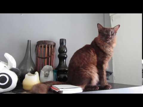 Sambucca the Oriental Longhair kitty meows