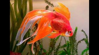 Золотая рыбка. Аквариум. Аквариумистика. Animals & fish.
