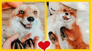 Zorro rescatado es como un perrito de color naranja ✅