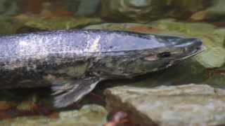 Salmon Run, Goldstream Park, 2013