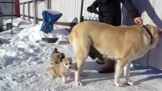 щенки алабая с мамой в 36 дней(, 2010-02-06T19:37:11.000Z)