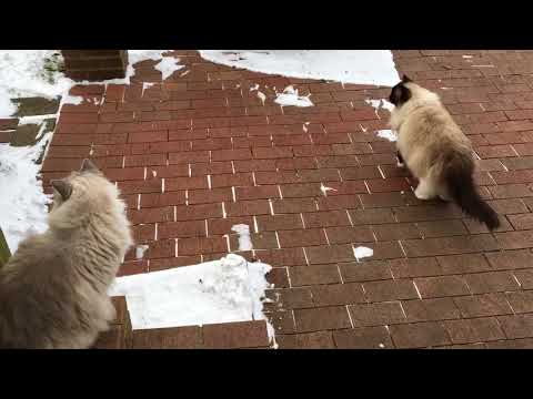 Ragdoll Cats Charlie and Trigg Go Outside Late December 2017 - Floppycats