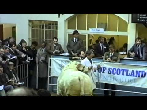 """Perth Bull Sales 1989 (Charolais) - a clip from film footage taken by Anne Lawson """"ALSNOW"""""""