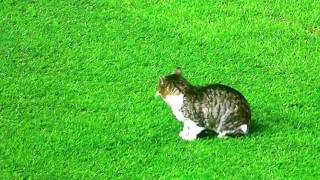 Liverpool v Tottenham spurs cat on the pitch feline pitch invasion 06/02/2012 6feb