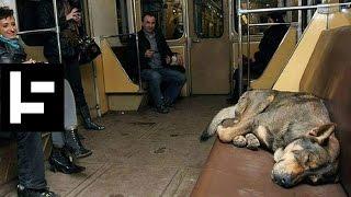 モスクワの野良犬、ピューマなど、急速に進化を遂げた5つの生物とその理由