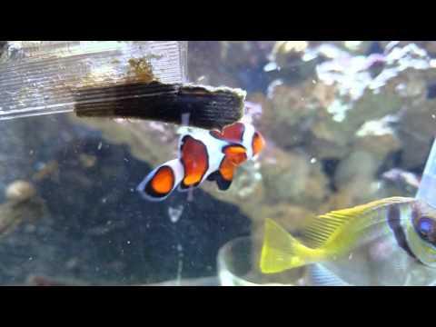 Scribbled Rabbitfish Eating Nori