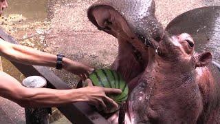 夏恒例イベント。大きなスイカを大きな口でまるごと噛み潰す迫力は動物...