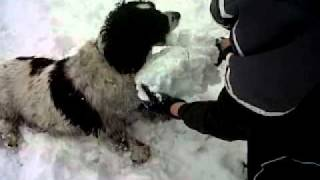 Springer Spaniel Jerry Eating Snow.3gp