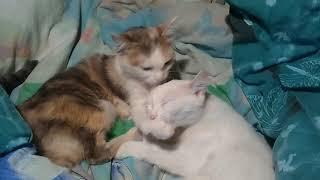 Кошки-лесбиянки