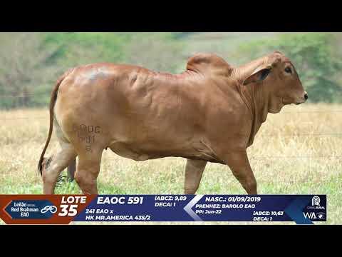 LOTE 35   EAOC 591