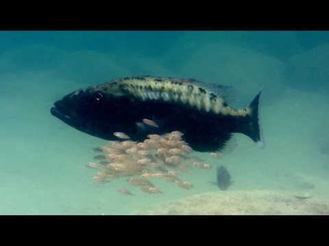 Baby Fish Hide Inside Mother's Mouth - Animal Super Parents: Episode 1 Preview - BBC One