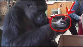 МИЛЫЕ ЖИВОТНЫЕ: горилла играет с котятами, маленькие котята и щенки