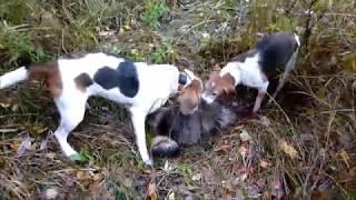 Охота с Гончими! (4)