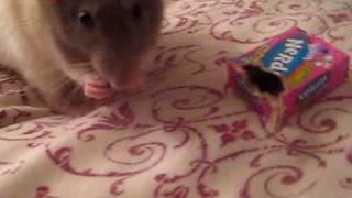 Pet Rats Breaking Into Raisins!