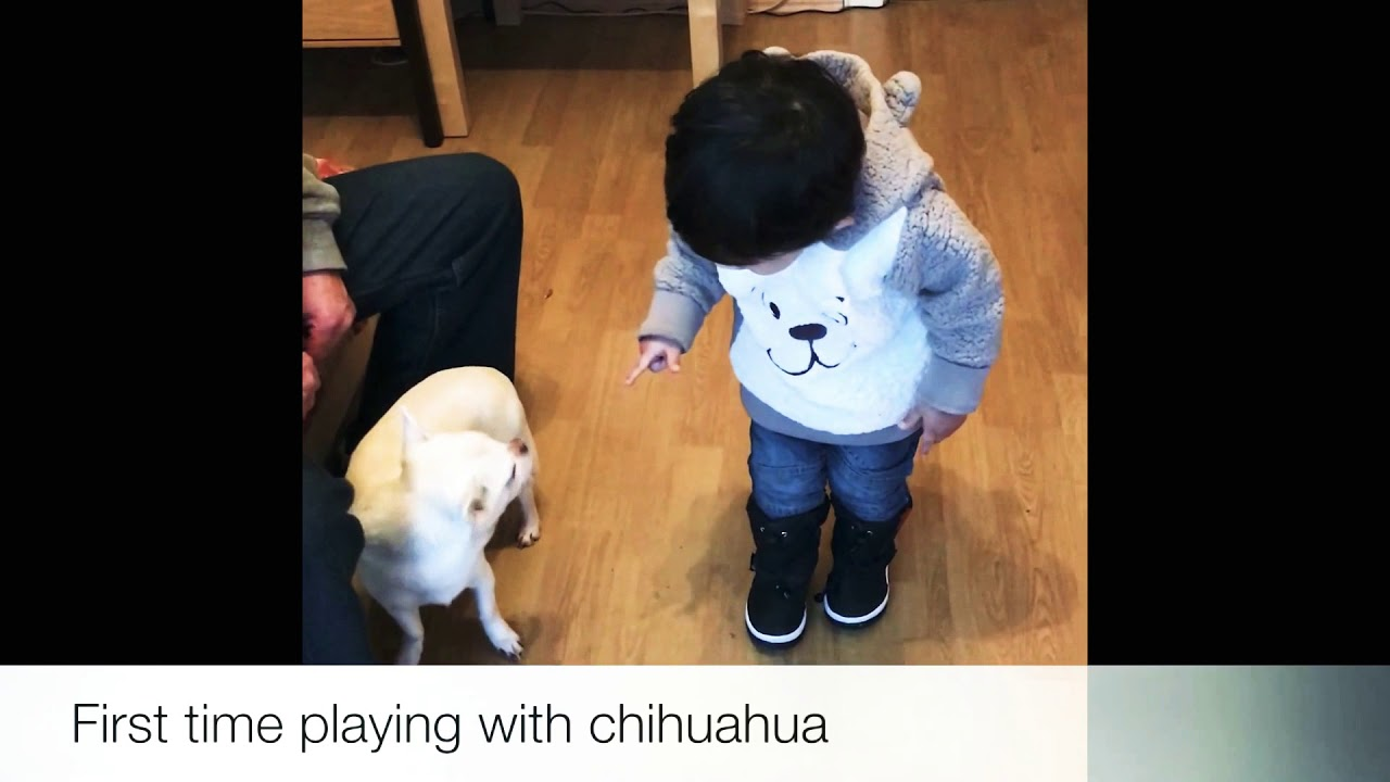 Playing with chihuahua