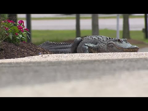 Alligator visits Bluffton's Technical College of the Lowcountry