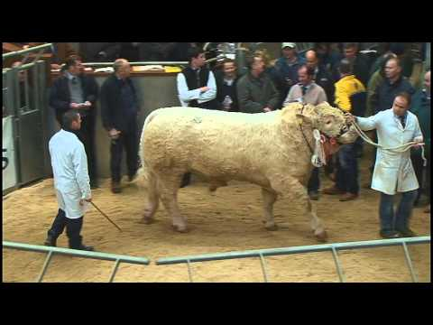 """Charolais Bull """"Maerdy Express"""" sells for 45,000 gns at """"Perth Bull Sales"""" - Stirling"""