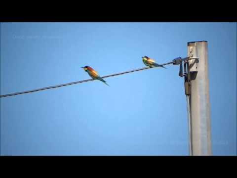 Puzone Abiaresu: Càntigu - Bee-eater song - Abbaiola