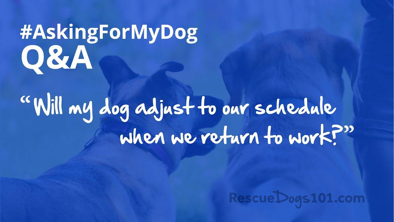 Will my dog adjust to our schedule when we return to work? [QA] #AskingForMyDog