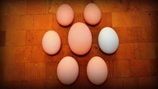 Huge Chicken Egg!